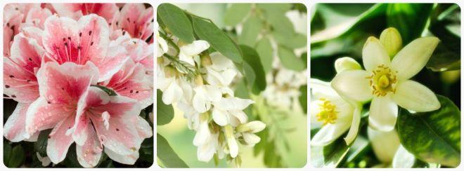 significato-dei-fiori-azalea-acacia-arancio