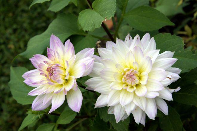 significato-dei-fiori-dalia