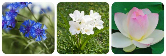 significato-dei-fiori-fiordaliso-fresia-fior-di-loto