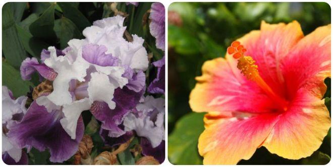 significato-dei-fiori-iris-ibisco