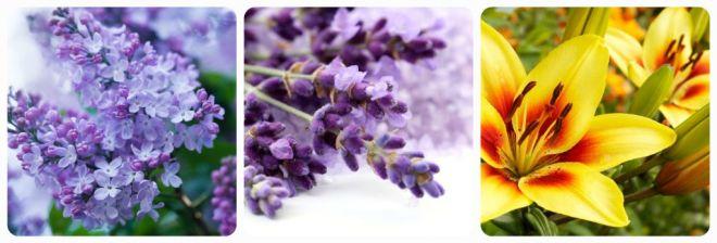 significato-dei-fiori-lilla-lavanda-lilium