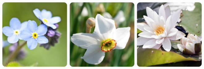significato-dei-fiori-nontiscordardime-narciso-ninfea-bianca