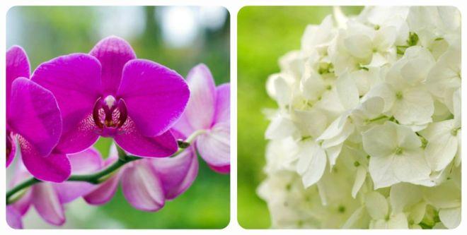 significato-dei-fiori-orchidea-ortensia