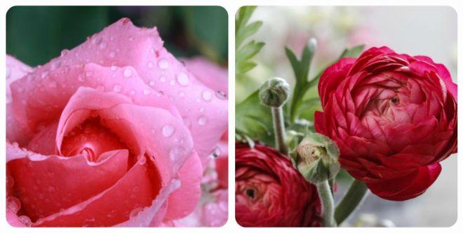 significato-dei-fiori-rosa-ranuncolo