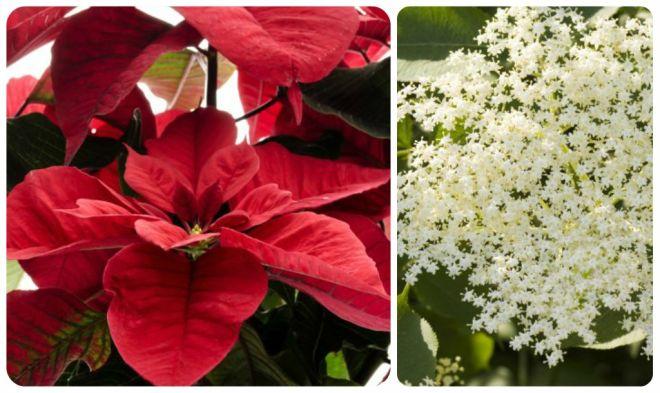 significato-dei-fiori-stella-di-natale-sambuco