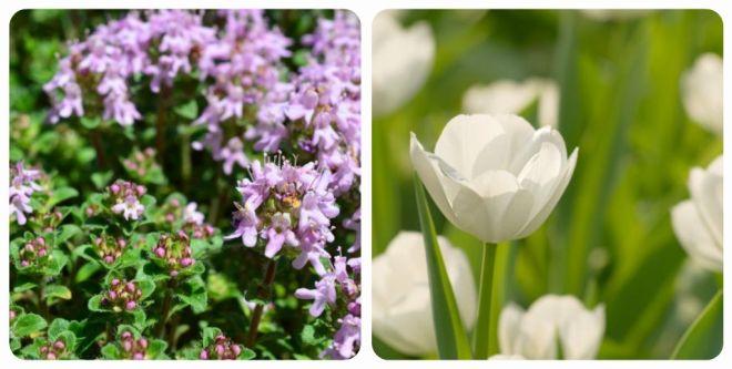 significato-dei-fiori-timo-tulipano
