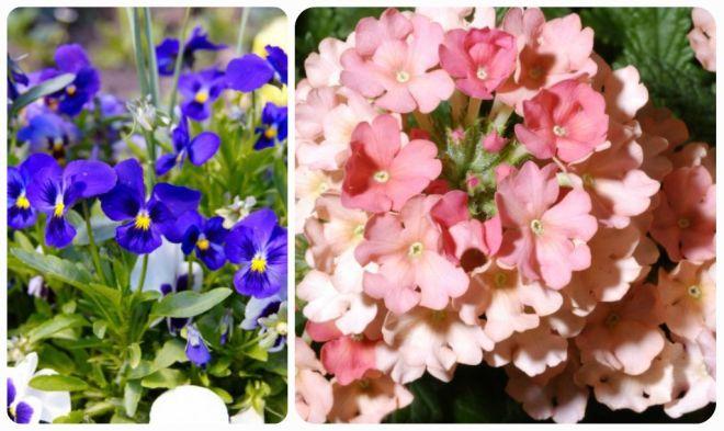 significato-dei-fiori-viola-del-pensiero-verbena
