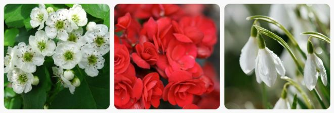 significato-dei-fiori-biancospino-begonia-bucaneve