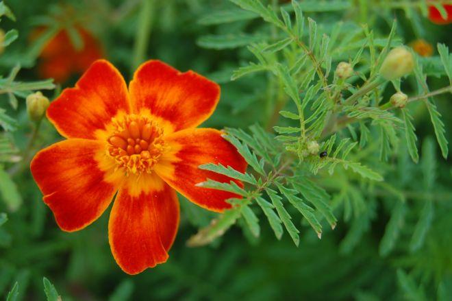 significato-dei-fiori-zinnia