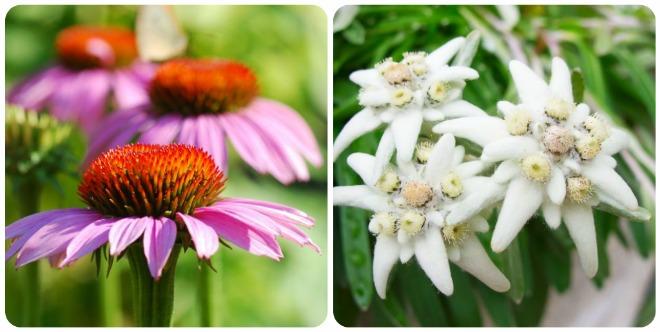 significato-fiori-echinacea-edelweisssignificato-fiori-echinacea-edelweiss